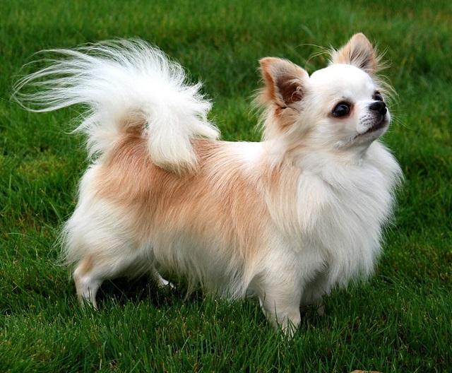 Perro Chihuahua de pelo largo