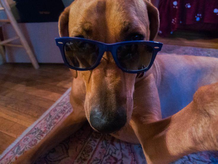Perro con gafas se toma una selfie
