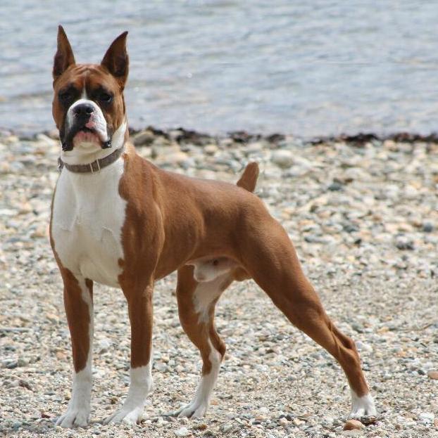 Perro de Raza Boxer