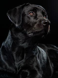 Perro labrador retriever negro
