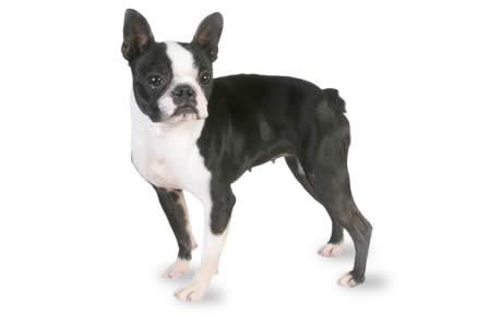 Perros de raza pequeña Boston Terrier