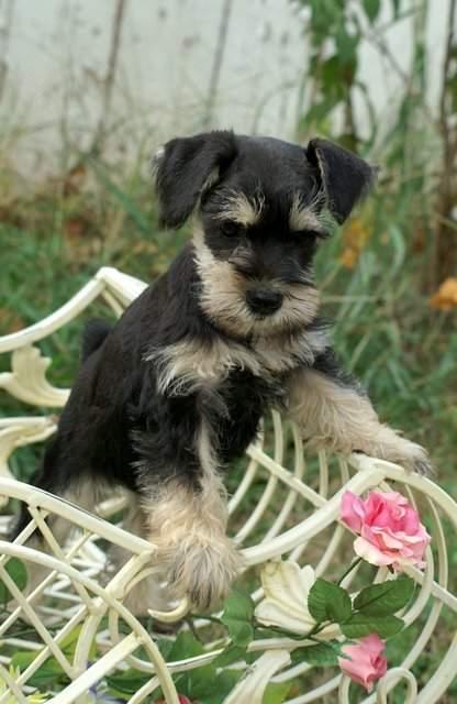 Perros de raza schnauzer miniatura
