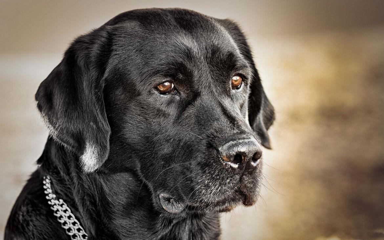 Perros negros labradores para fondo de pantalla