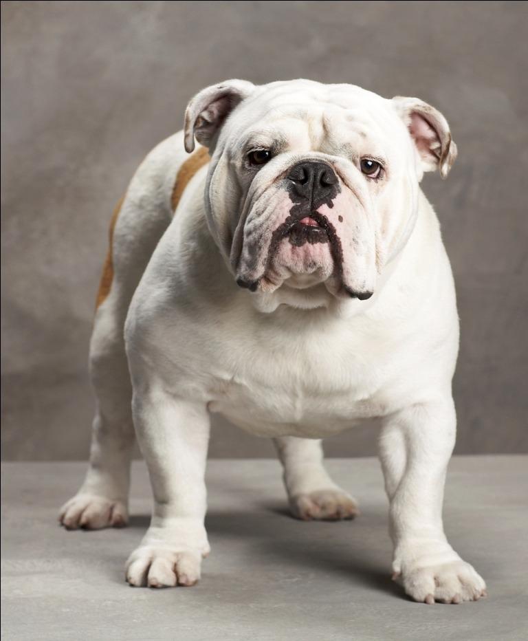 Raza de Perros Bulldog