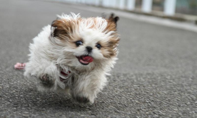 Razas de perro Shih Tzu