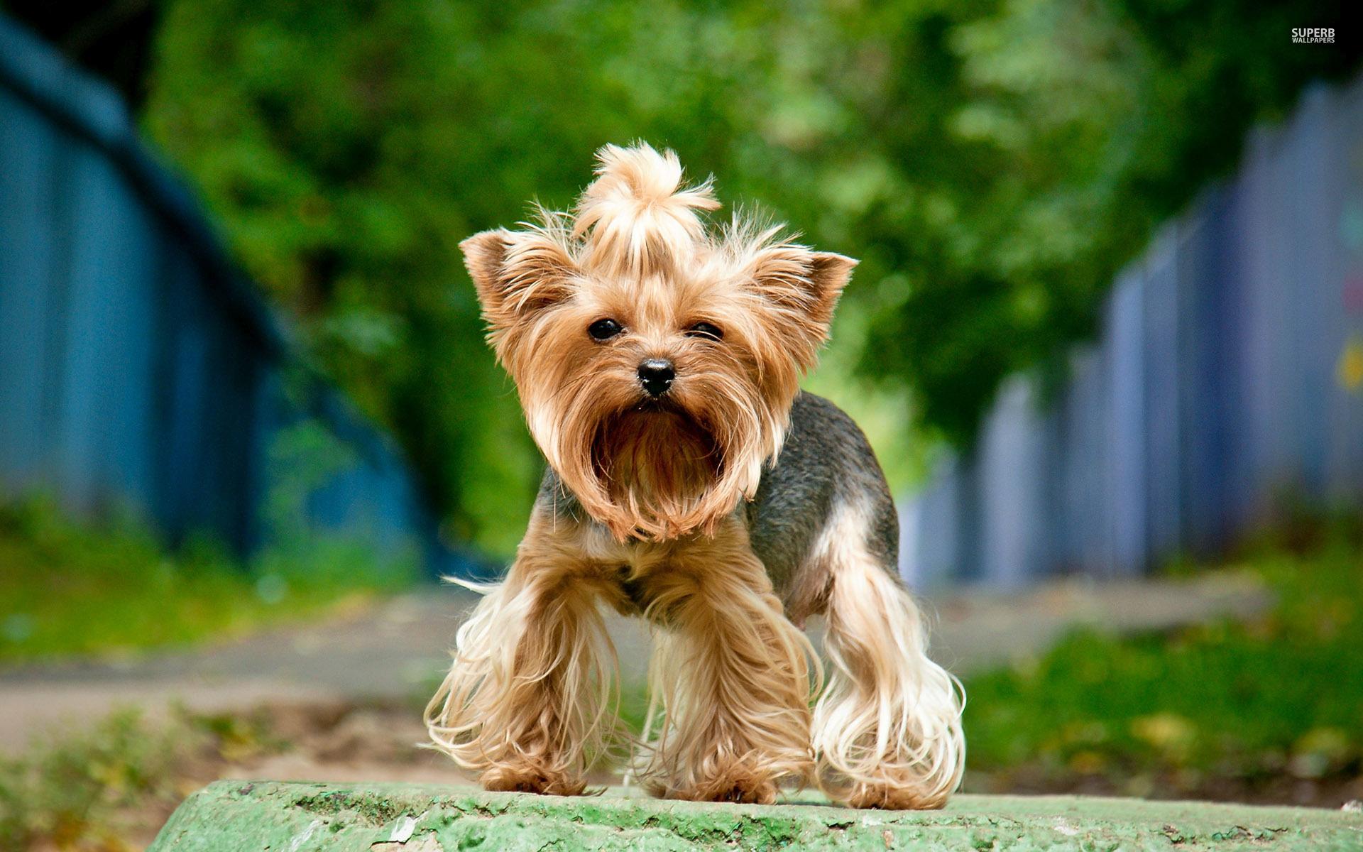 Yorkshire Terrier fondo de escritorio