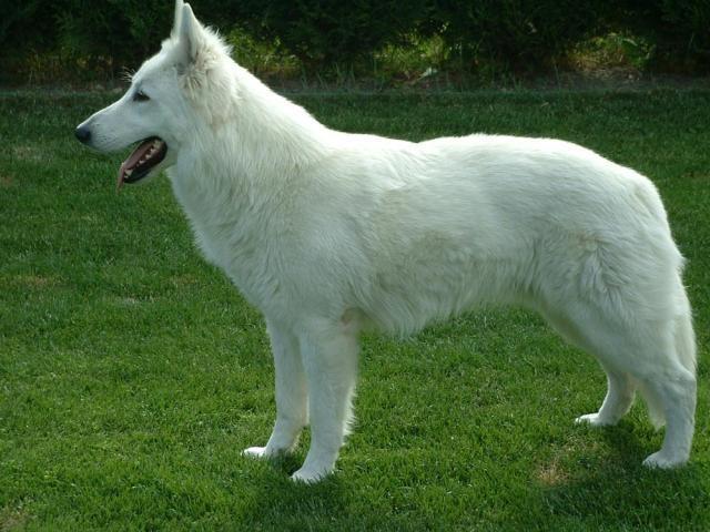 fotos de perros blancos