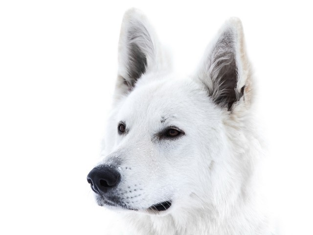 fotos de perros de color blanco