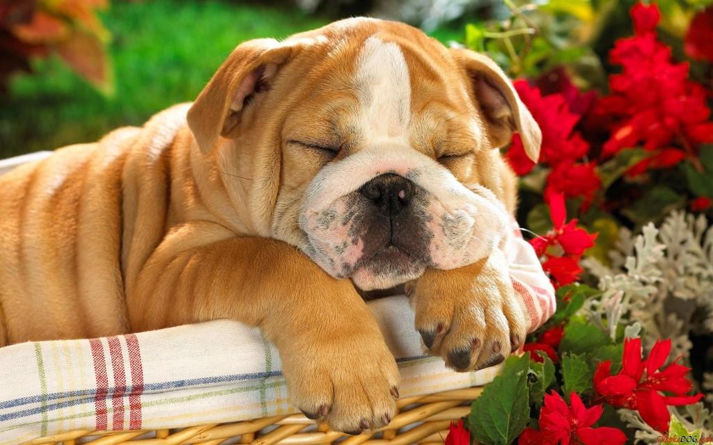 lindas imagenes de la raza de perro bulldog ingles