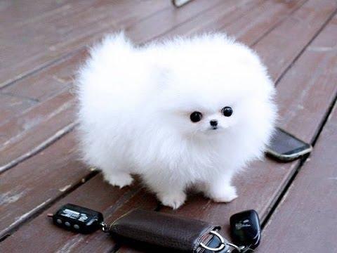 perro de raza pequeña pomerania
