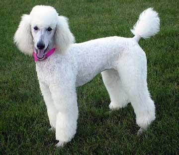 raza de perros poodle