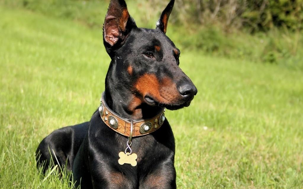 Doberman perro de raza grande