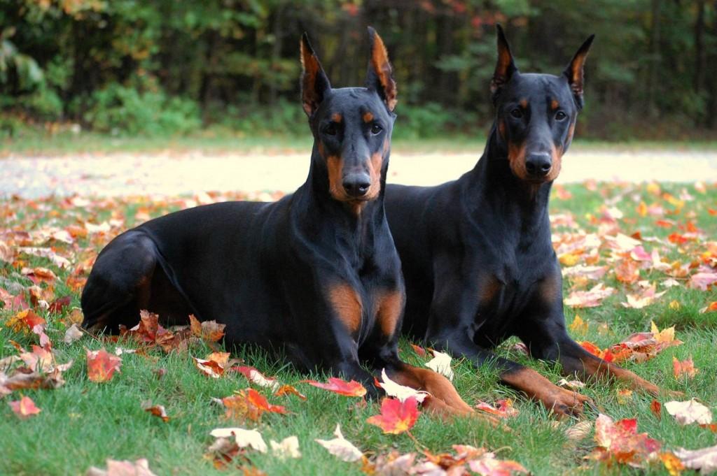 Fondos de pantalla de perros Doberman