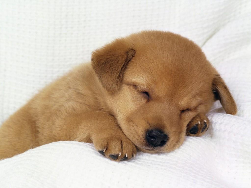 Imagen de perros chiquito durmiendo para fondo de pantalla