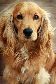 Imagenes de perros cocker spaniel