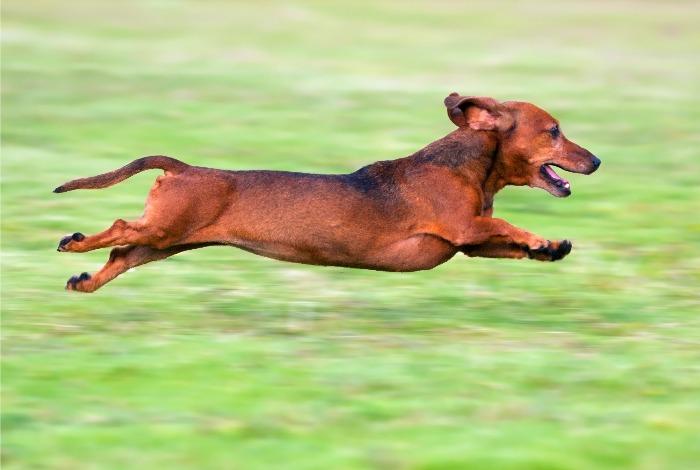 Imagenes para fondo de perro salchicha corriendo