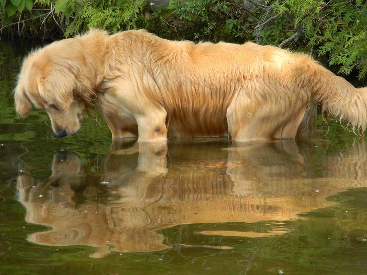 Labrador retriever perro de agua