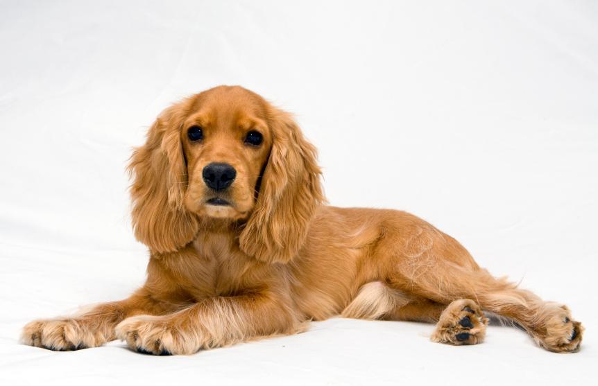 Perros de orejas grandes cocker spaniel