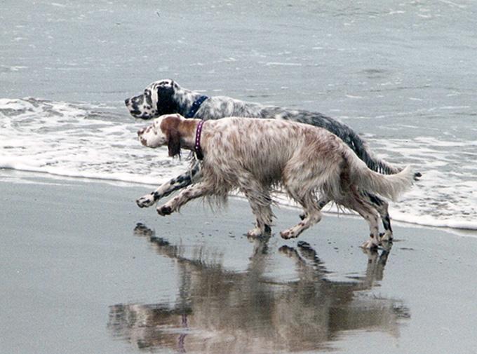 Raza de perro amante del agua Setter Inglés