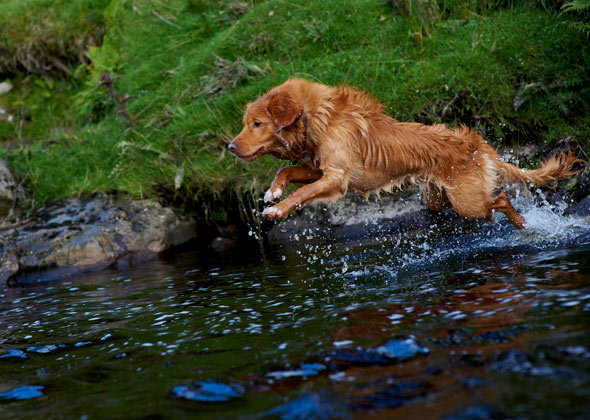 Raza de perros de agua Retriever de Nueva Escocia
