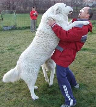 Raza de perros grandes kuvasz