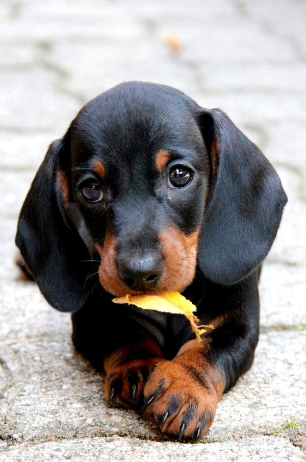 imagen bonita para fondo de pantalla de un perro salchicha