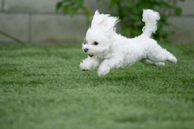 imagen para fondo de celular de un perro de raza westie