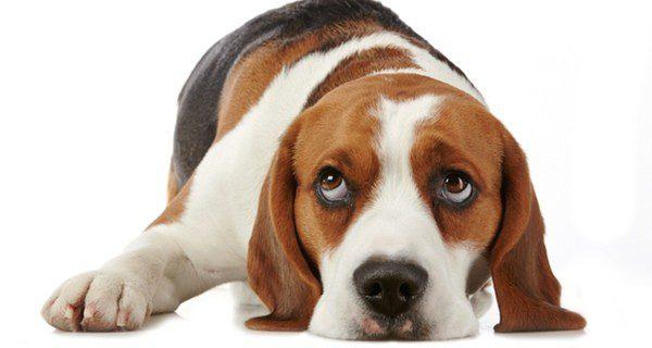 imagenes de perros con caras de tristeza