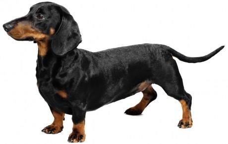 perro salchicha