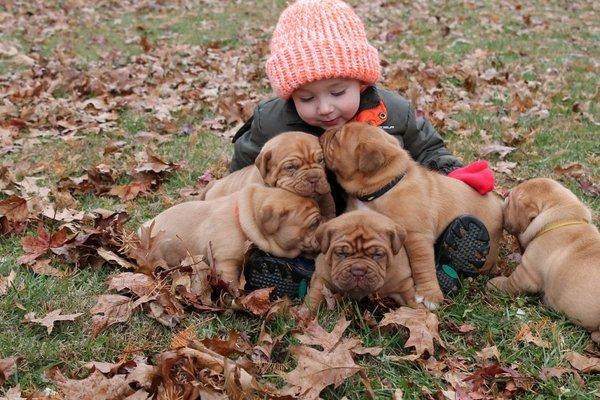 Dogo de Burdeos raza apta para niños