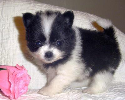 Linda imagen de un perro de raza pomerania mini