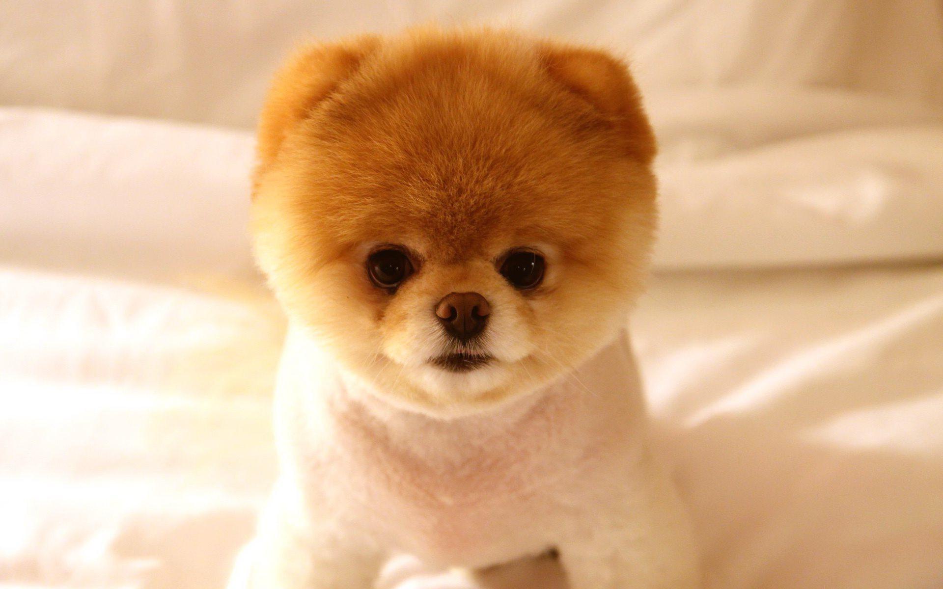 Perro lindo pomerania toy