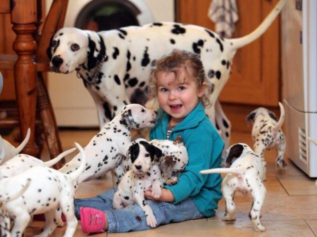 Raza de perro dalmata apta para los niños