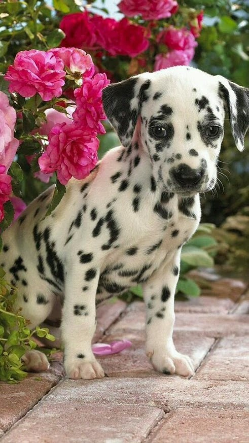Bonitas imagenes para fondo de celular de perros dalmata