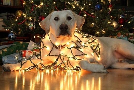 bonita-foto-de-un-perro-enredado-entre-luces-de-navidad