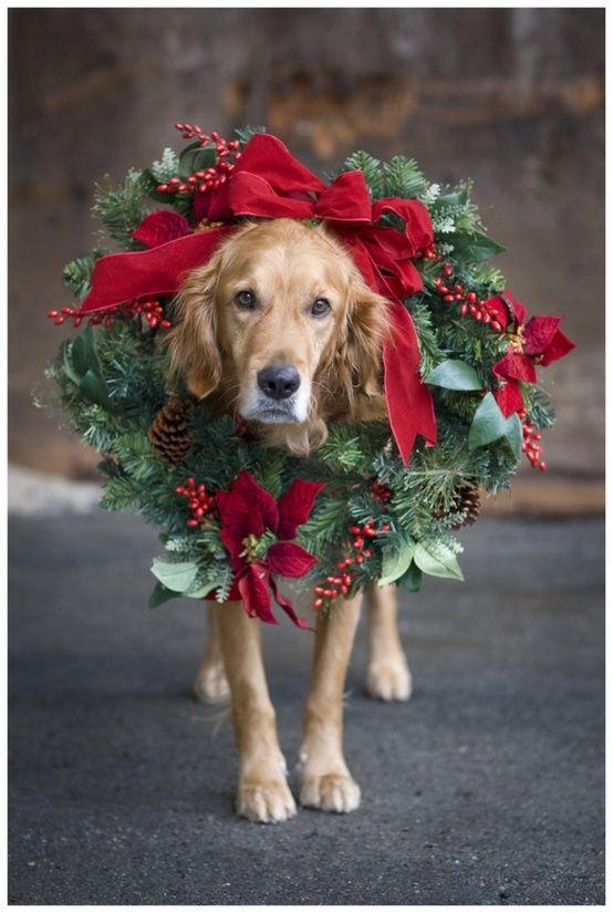 bonitos-fondos-de-celular-de-perros-navidenos