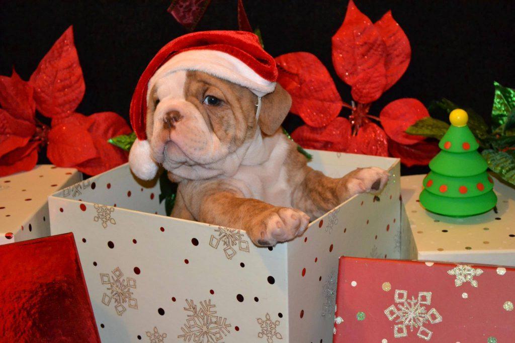 imagenes-de-perritos-navidenos-dentro-de-una-caja-de-regalo