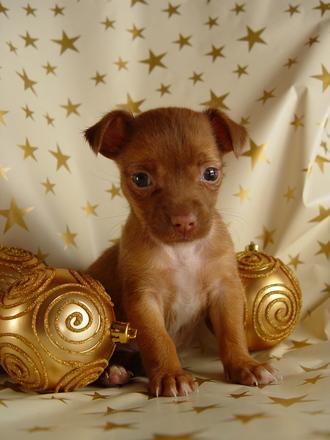 imagenes-de-perritos-super-tiernos-para-navidad
